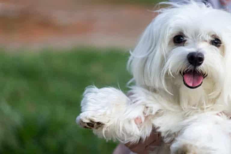 Cachorro de madame, quais são as raças mais caras [Top 5]
