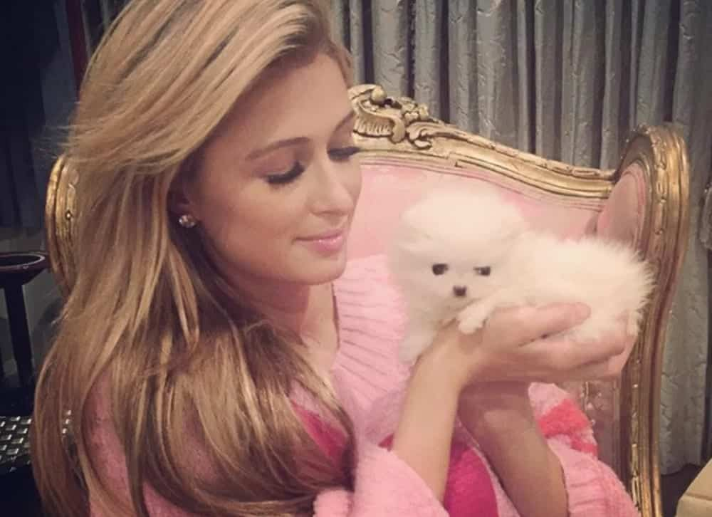 Cachorro de madame - Raças mais caras e luxuosas [Top 5]