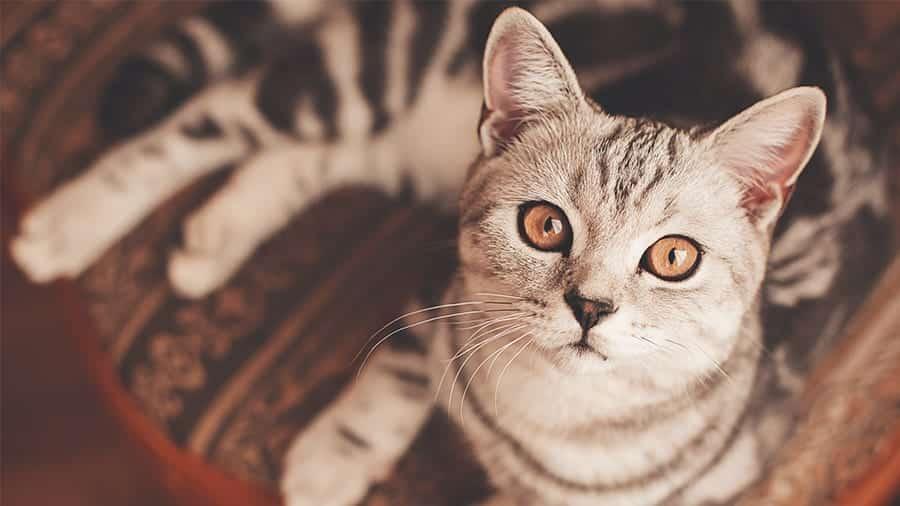 Gato Miando - Tipos de miado, motivos e soluções para seu gato