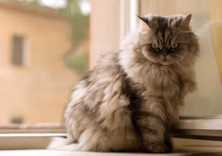 Raças de gato: Conheça as 10 espécies mais comuns no Brasil