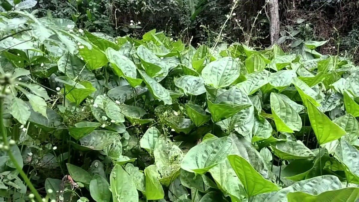 Chapéu-de-couro - Como fazer o chá, benefícios e contraindicações