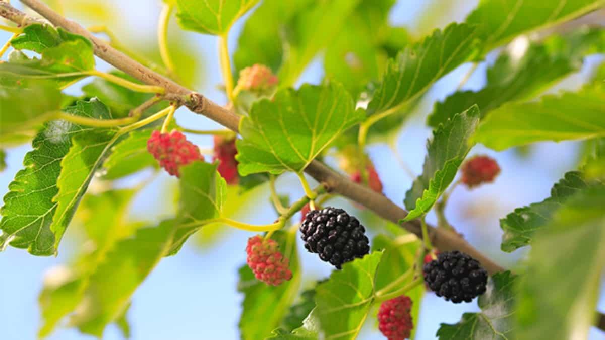 Chá de Folha de Amora- para que serve e quais são os seus benefícios?