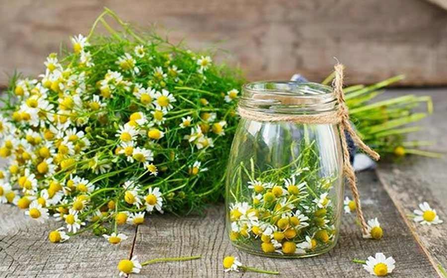 beneficios do cha de camomila para a saude e bem estar 1 - Beneficios del té de manzanilla para la salud y el bienestar