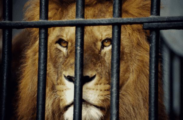 Sonhar com leão, o que significa? Possíveis interpretações