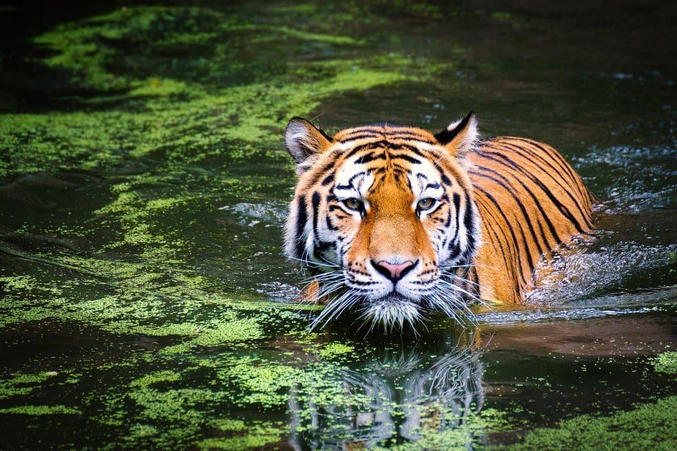 Sonhar com tigre, o que significa? Principais interpretações